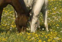 Twee paarden het weiden Stock Afbeeldingen