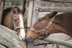 Twee paarden kussen royalty-vrije stock afbeeldingen