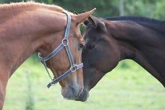 Twee paarden ontmoeten elkaar Stock Afbeelding