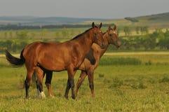 Twee paarden op de weide Stock Fotografie