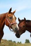 Twee paarden op de weide Stock Afbeelding