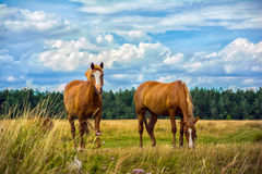 Twee paarden op de weide Stock Foto's