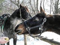 Twee paarden op een achtergrond van de winterbomen Stock Afbeeldingen