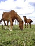 Twee paarden op een de zomerweide Stock Afbeelding