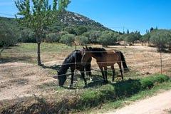 Twee paarden op een gebied Stock Foto