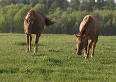 Twee paarden op een gebied. Stock Afbeeldingen