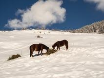 Twee paarden op een sneeuw - behandelde heuvel Stock Foto