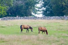 Twee Paarden op Gebied Stock Foto
