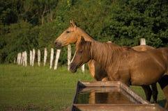 Twee paarden op landbouwbedrijf Stock Afbeeldingen