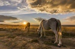 Twee paarden op weide bij kleurrijke zonsondergang Royalty-vrije Stock Afbeelding