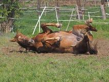 Twee paarden rollen over royalty-vrije stock fotografie