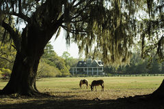 Twee paarden weiden in een zuidelijke tuin van s met Live Oak Trees en Azalea's stock afbeelding