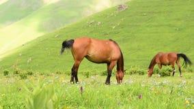 Twee paarden weiden op weiland stock video