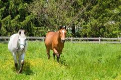 Twee paarden in weiland Royalty-vrije Stock Foto