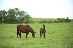 Twee paarden in weiland stock fotografie