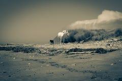 Twee paarden zwerven langs geïsoleerd en verlaten strand Royalty-vrije Stock Foto