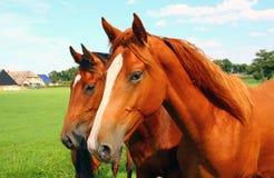 Twee paardhoofden stock afbeelding
