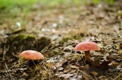 Twee paddestoelen in het bos Royalty-vrije Stock Afbeeldingen