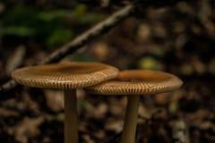 Twee paddestoelen in het hout Stock Foto's