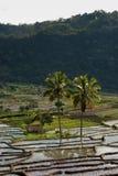 Twee palmen in een terrasvormig padieveld Royalty-vrije Stock Foto's