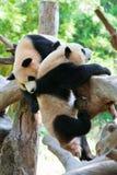 Twee panda's die 2 spelen Royalty-vrije Stock Fotografie