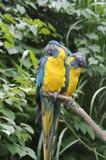 Twee papegaaien Royalty-vrije Stock Foto