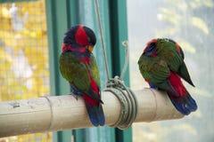 Twee Papegaaien Royalty-vrije Stock Afbeelding