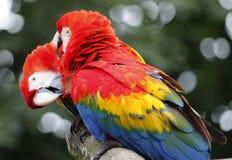Twee Papegaaien in de Dierentuin van Malacca Stock Fotografie