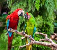 Twee papegaaien die geheimen vertellen Royalty-vrije Stock Foto