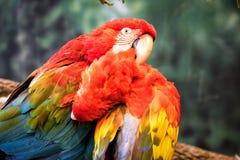 Twee papegaaien het verzorgen royalty-vrije stock afbeelding
