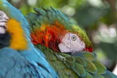 Twee Papegaaien van de Ara stock foto