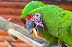 Twee papegaaien vechten voor een ongezuurd broodje Stock Afbeelding