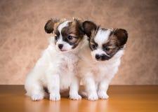 Twee Papillon-puppy Stock Afbeeldingen
