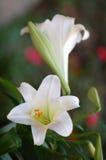 Twee Pasen Lilys stock afbeeldingen