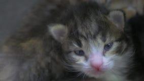 Twee pasgeboren katjes slapen leuk pasgeboren levensstijlkatjes van het kattenconcept stock videobeelden