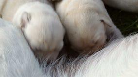 Twee pasgeboren labrador retriever puppy zuigende melk van hun moeder stock video