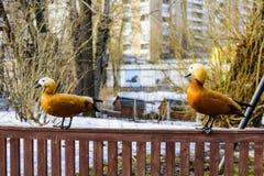 Twee pecannoten van de watervogels rode eend lat Tadornaferruginea zit op een kleine omheining Royalty-vrije Stock Foto's