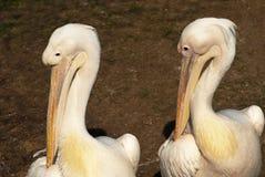 Twee pelikanen Stock Foto