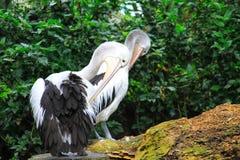 Twee pelikanen Royalty-vrije Stock Foto
