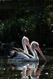 Twee pelikanen Royalty-vrije Stock Afbeelding