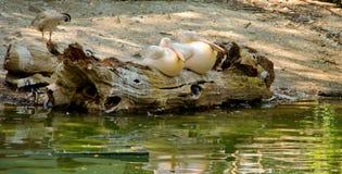 Twee pelikanen Royalty-vrije Stock Fotografie