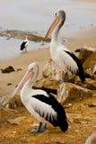 Twee Pelikanen Royalty-vrije Stock Afbeeldingen