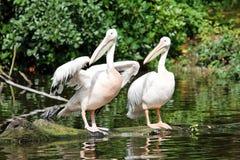 Twee pelikanen dichtbij het water Stock Afbeelding