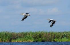 Het vliegen van pelikanen Royalty-vrije Stock Afbeeldingen
