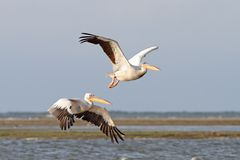 Twee pelikanen die over het overzees vliegen Royalty-vrije Stock Foto's