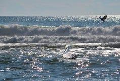 Twee Pelikanen genieten van de Oceaan Royalty-vrije Stock Afbeeldingen