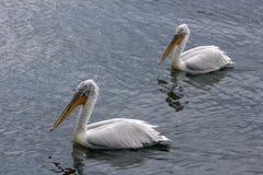 Twee pelikanen in het meer Stock Foto