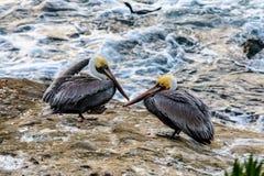 Twee pelikanen het rusten Stock Afbeelding