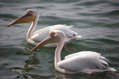 Twee pelikanen op meer Royalty-vrije Stock Foto
