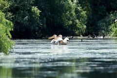 Twee pelikanen op meer Stock Foto's
